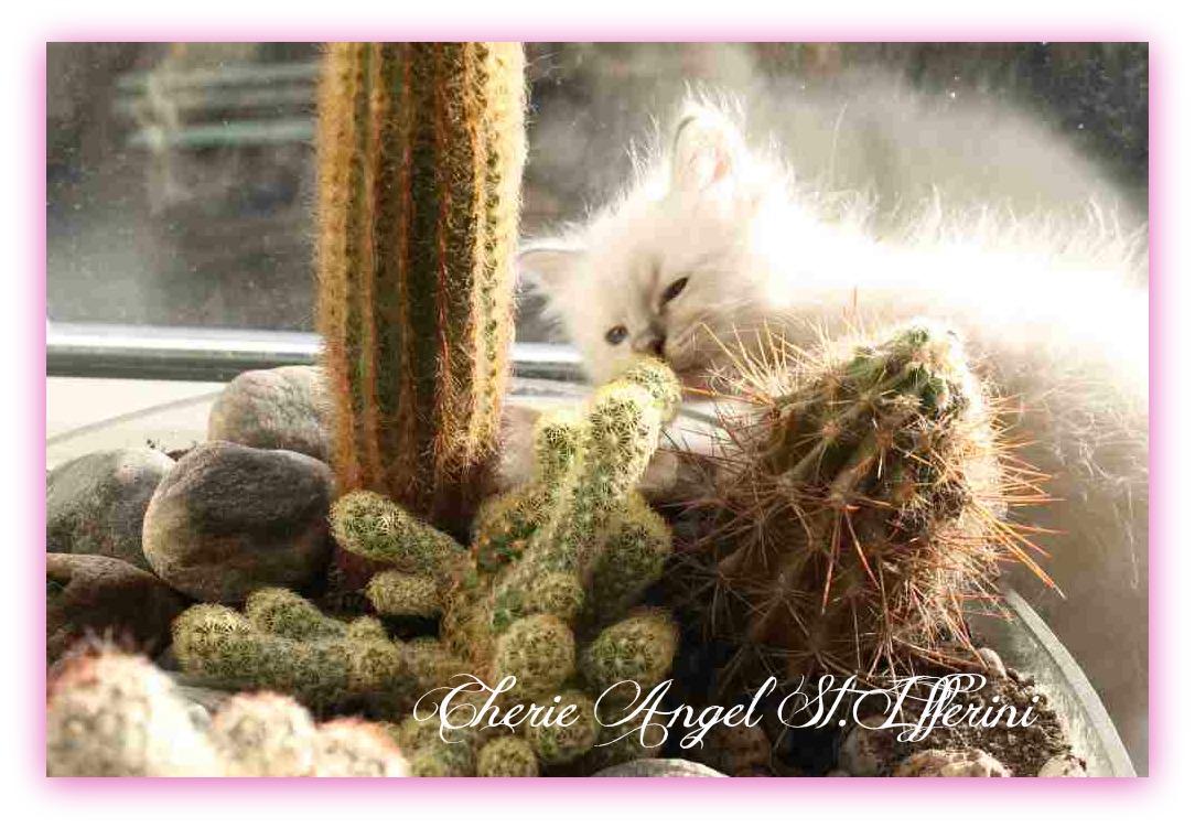 kaktusa